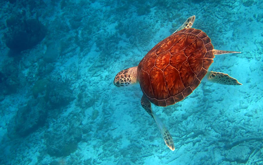 Snorkeling with a turtle at Klein Curacao.