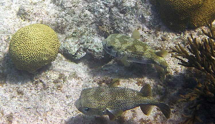 A pair of Porcupinefish