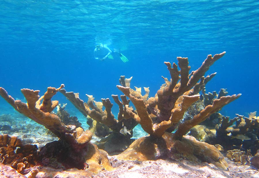 Elkhorn Coral on Klein Curacao