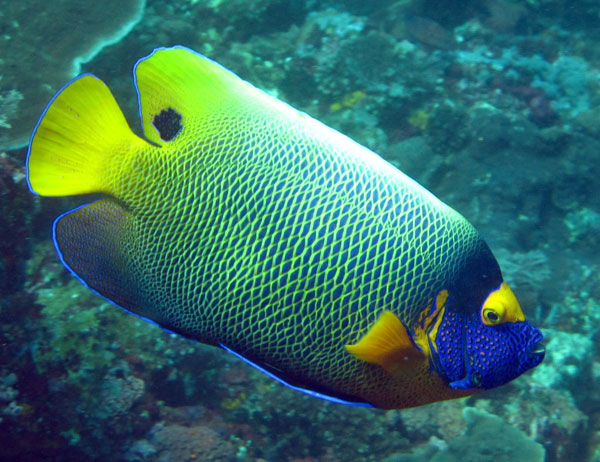 See amazing fish like this Blue-face Angelfish while snorkeling in Alor.