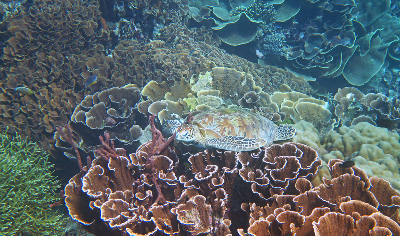 One of the many Green Sea Turtles we saw relaxing on the reef in Komodo.