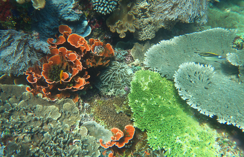A diverse coral reef in Komodo.