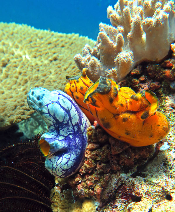 Colorful tunicates decorate the reefs in Komodo.