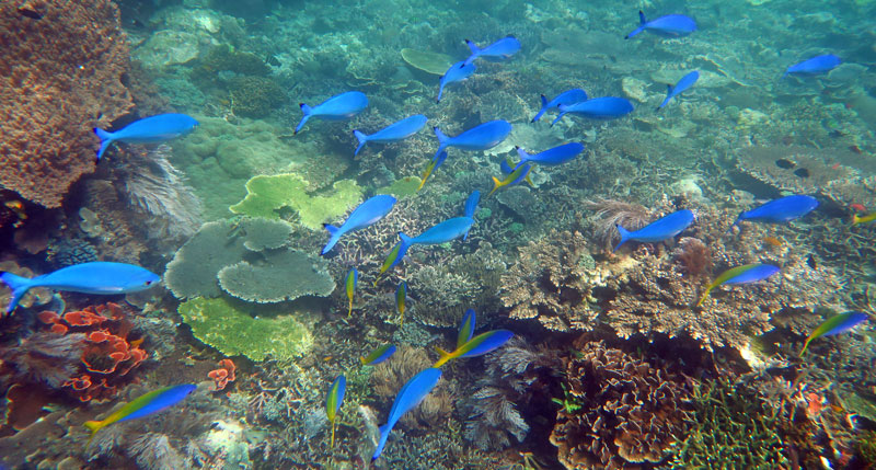 Sparkly schools of filter feeding fusiliers were on or around many reefs in Komodo.