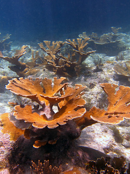 Fields of Elkhorn Corals