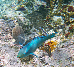 Parrotfish at Little Knip Beach