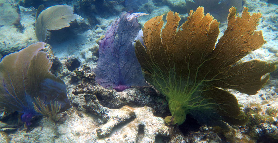 Nearly all of these sea fan corals are in different unhealthy states or dying.