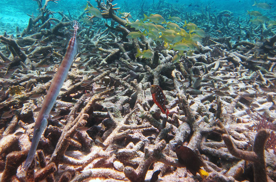 A stand of dead Staghorn Coral. Fish still use this as habitat, but it will not support them as well as a healthy reef.