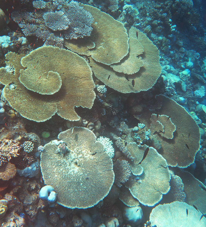 Some of these table corals still have good color. But some look like they have been bleached. And many of the other corals in this picture are bleached.