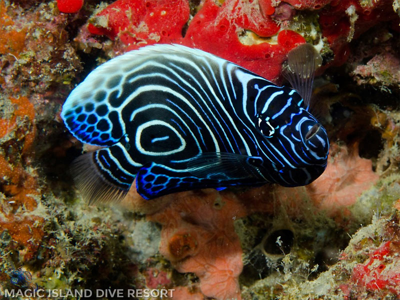 See beautiful fish like this juvenile Emperor Angelfish while snorkeling in the Philippines.