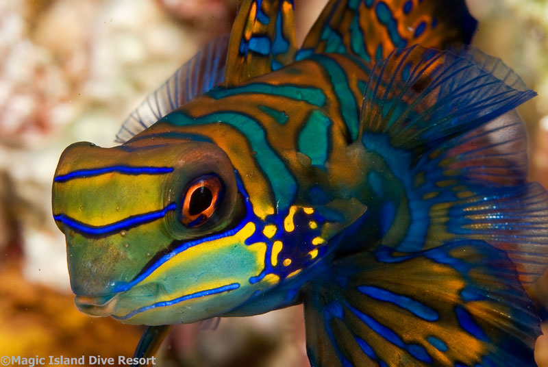 The amazing mandarinfish can be seen on the reefs near Magic Island Resort.