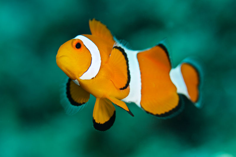 A gorgeous anemonefish.