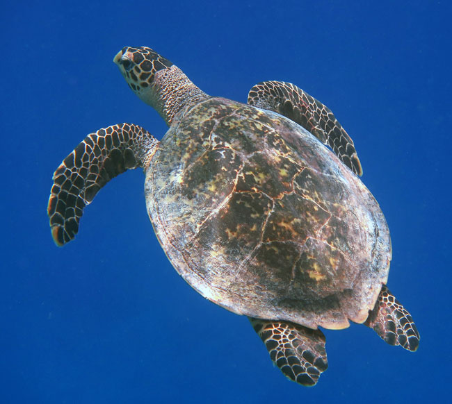 If you like seeing turtles, Maldives snorkeling is a good choice. We saw many Hawksbill Turtles.