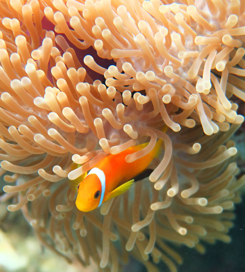 The native Maldive anemonefish has black bottom fins. These are common to see snorkeling there.