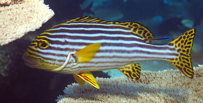Oriental Sweetlips were a common and wonderful companion on the reefs in the Maldives.