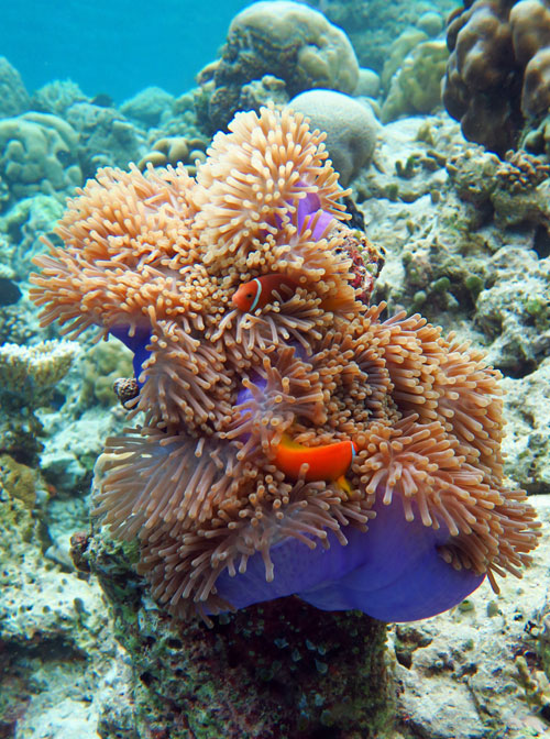 There are a number of anemones with anemonefish to see at Vilamendhoo.