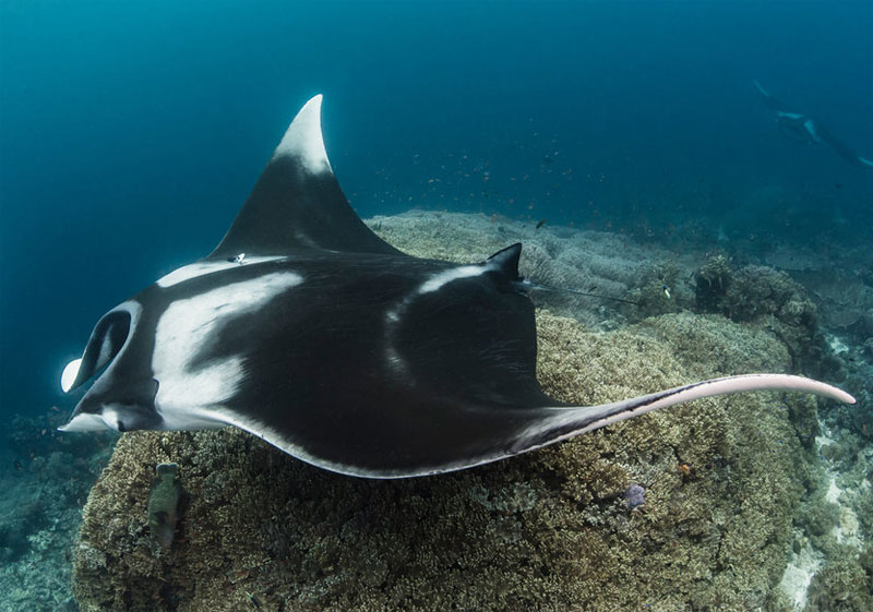 See manta rays in the Misool Marine Reserve.