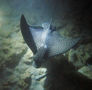 Snorkeling At Night with a Spotted Eagle Ray