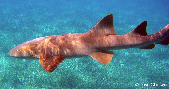 Nurse Shark at Shark Ray Alley Belize, by my friend Dave.