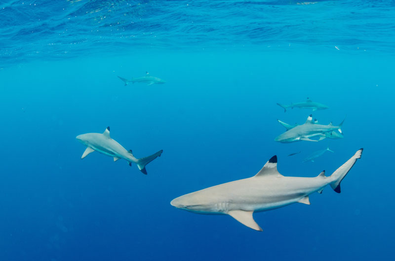 Seeing pelagics, including Black Tip Reef Sharks like these, is a great opportunity in Palau.