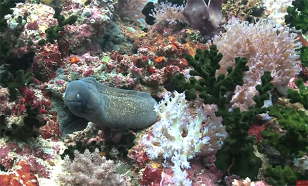 Eel with stunning corals and sponges on a wall in the Philippines.
