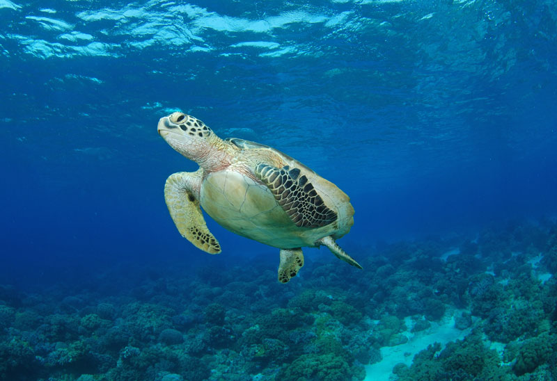 Snorkel with sea turtles on this Philippines liveaboard trip.