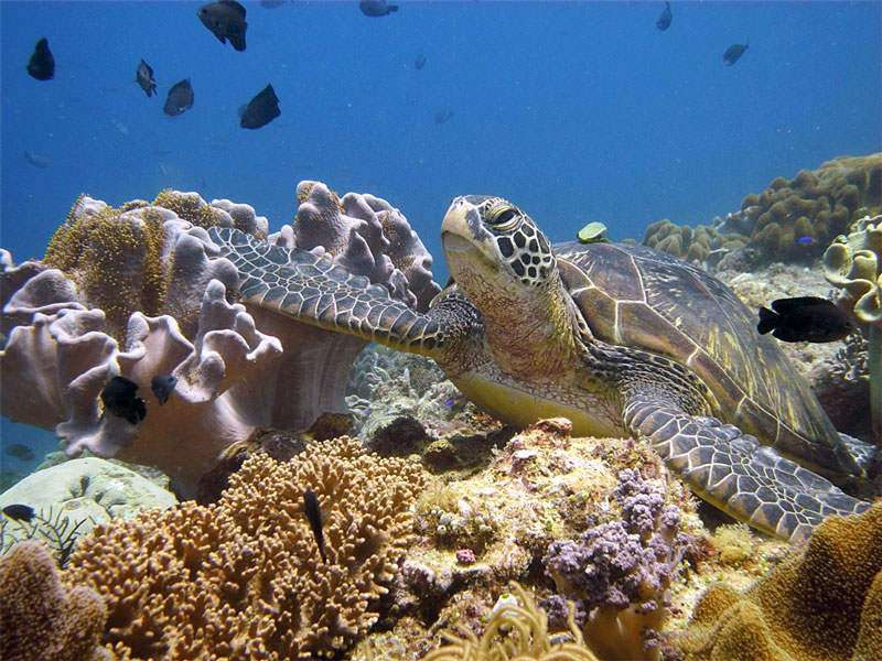 Snorkel with sea turtles over healthy reefs in the Philippines.