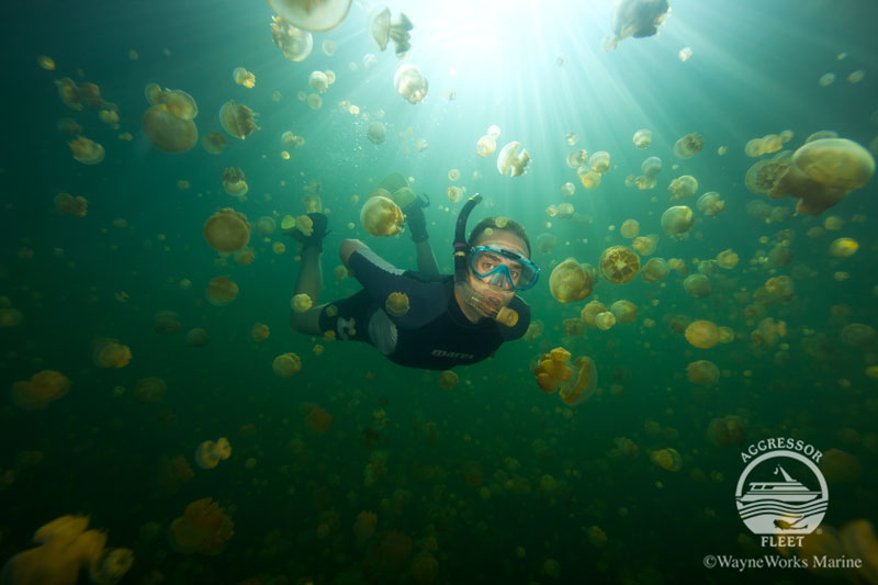 The famous Jellyfish Lake has been coming back and you may be able to snorkel with its stingless jellies.