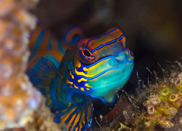 You will have chances to see the gorgeous and tiny Mandarinfish on this snorkeling trip.