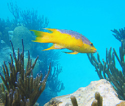 Spanish Hogfish Over Reef