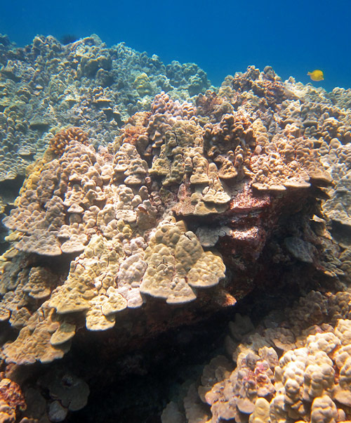 Find Beautiful Corals Like These On The Big Island