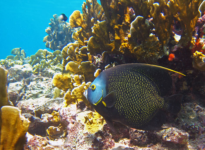 French Angelfish And Fire Coral