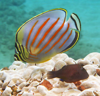 This is an Ornate Butterflyfish with an Ambon Toby on Maui.