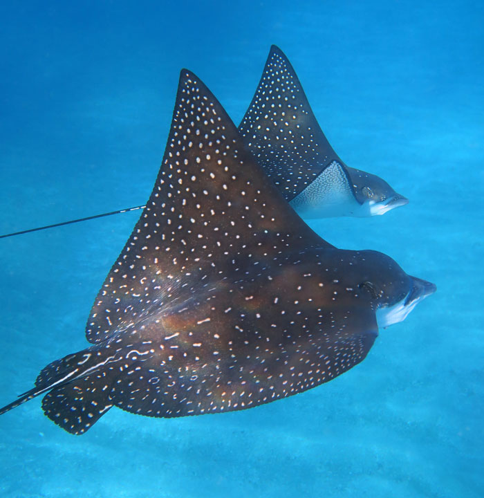 You might have a magical encounter with Spotted Eagle Rays on Maui like we have a number of times.