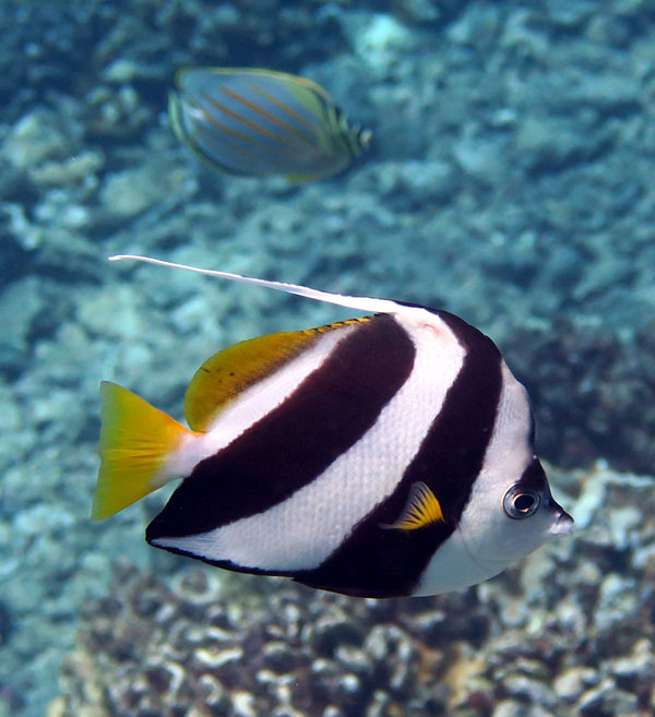 Schooling Bannerfish are not very common, but they can be seen here.