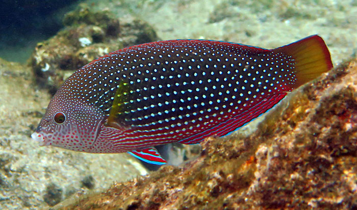 The gorgeous Pearl Wrasse in Maui.
