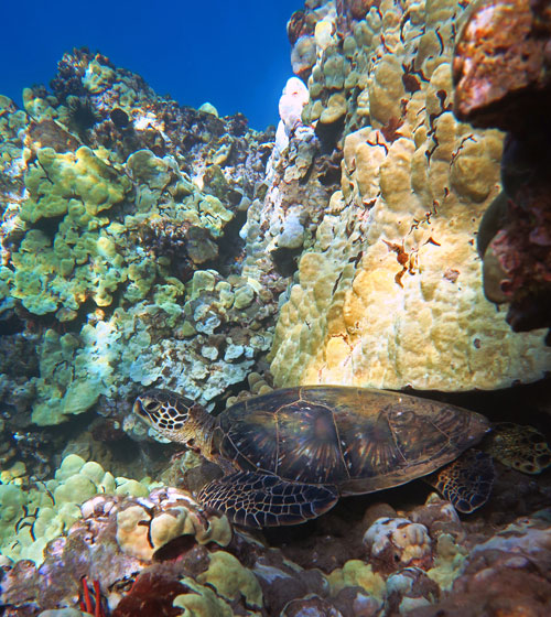 Maui Is a Great Place to See Sea Turtles