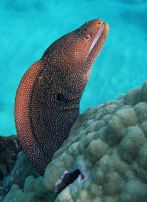 Whitemouth Moray Eel sticking its head out of a reef on Maui.