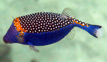 Spotted Boxfish in Maui