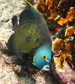 French Angelfish - Snorkeling Camera Features