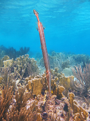 This Trumpetfish stands out against the blue background.