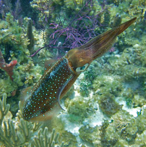 Caribbean Reef Squid Closeup