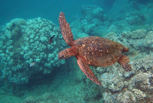 Hawaii Green Sea Turtle swimming over a coral head.