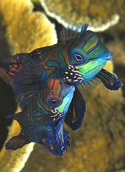 See beautiful mandarinfish snorkeling in Sulawesi and Borneo.