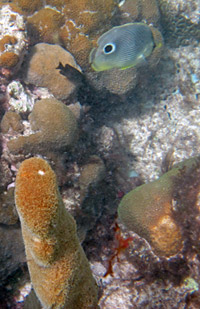 Pillar Coral and Butterflyfish on the Arashi Beach Reef