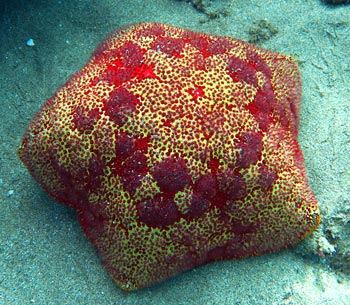 Beautiful Cushion Star we spotted while snorkeling Black Rock.