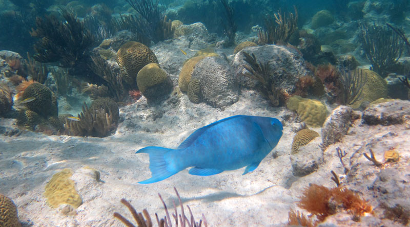 Blue Parrotfish Over Church Bay Reef