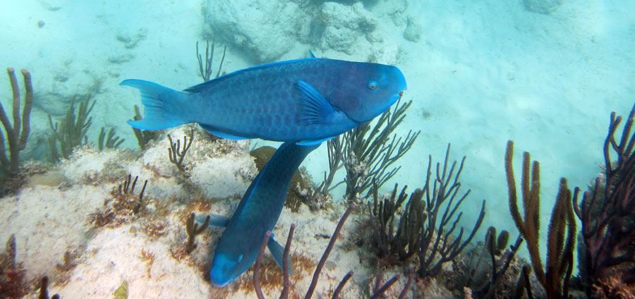 A Pair Of Blue Parrotfish