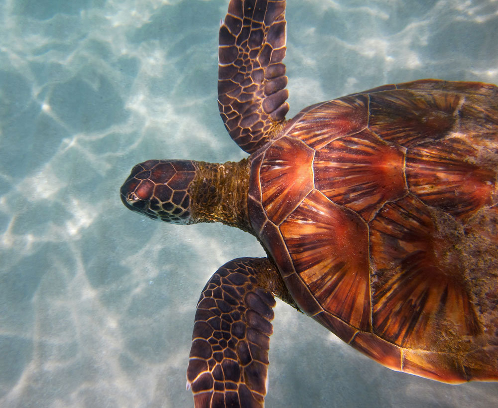 We have seen turtles over the sandy area snorkeling past the right end of Hapuna Beach.