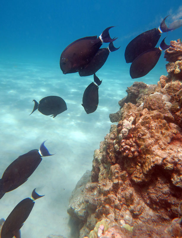 See fish around the rocky points snorkeling Hapuna Beach.